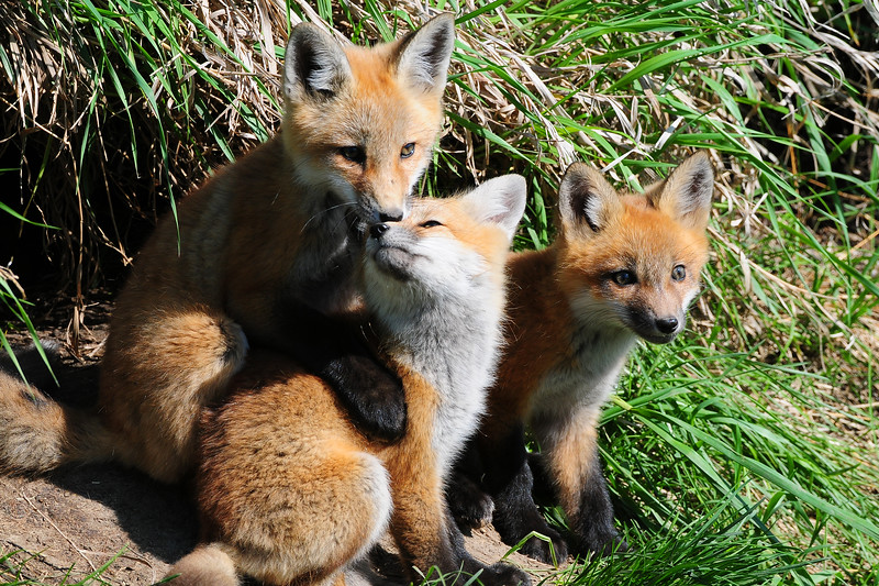Thre red fox kits playing outside a den, Iowa.