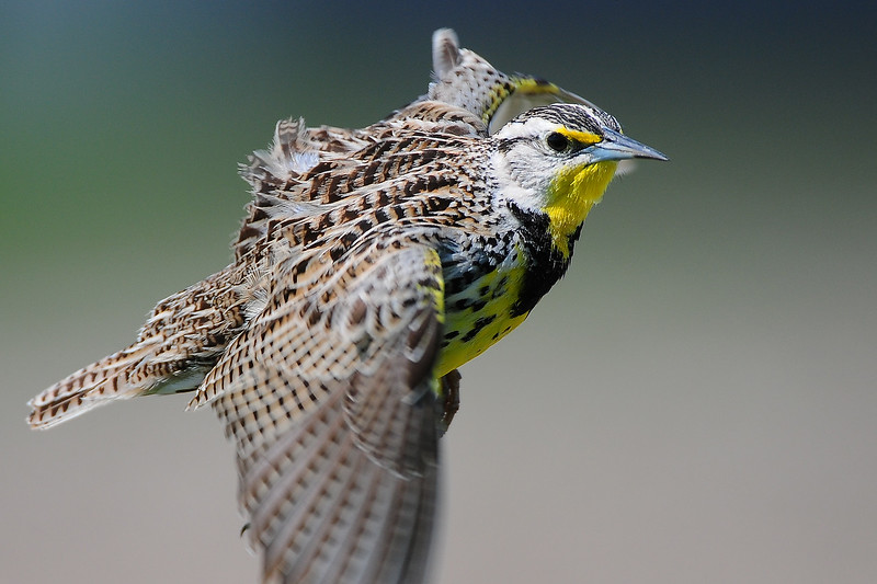 An eastern meadowlark along the farmfields of Iowa.