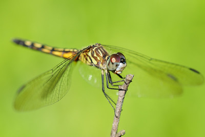 Female blue dasher dragonfly at a marsh in Eastern Iowa.