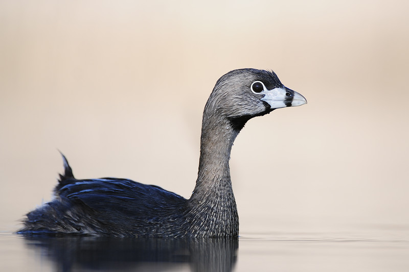 A pied-billed grebe on a beaver pond in Eastern Iowa.