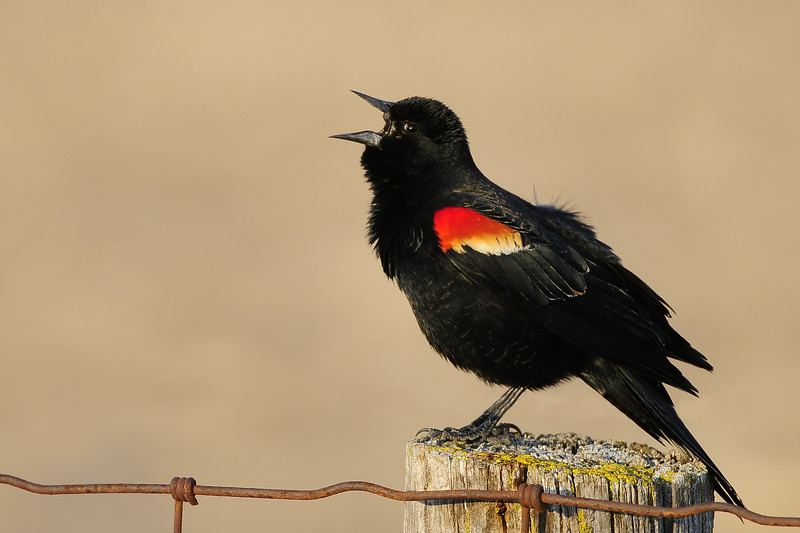 A male red-winged black bird singing from a fence post, Wisconsin.