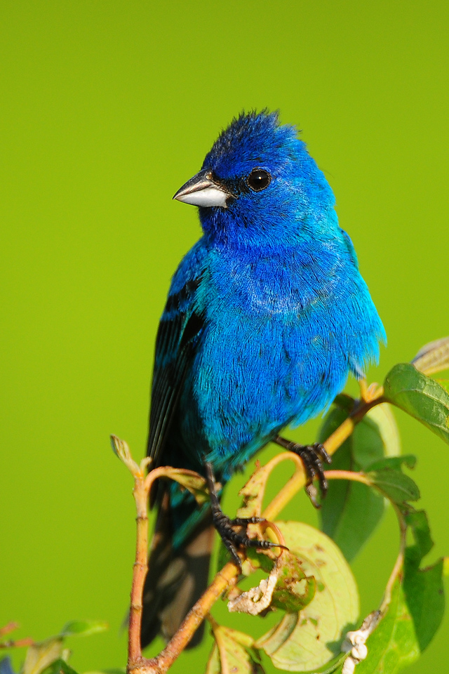 An indigo bunting perched in the Lake Odessa NWR, Iowa.