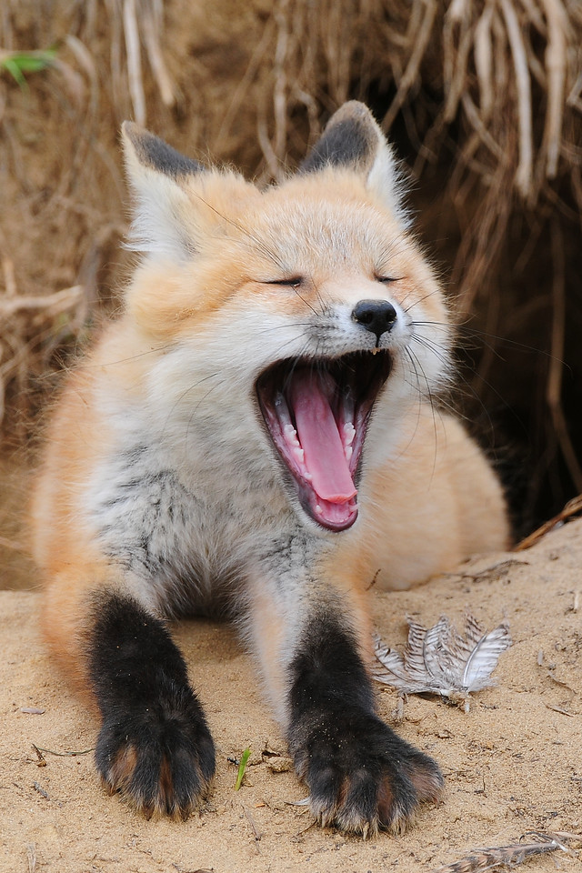 A young red fox kit yawning outside the den, Iowa.