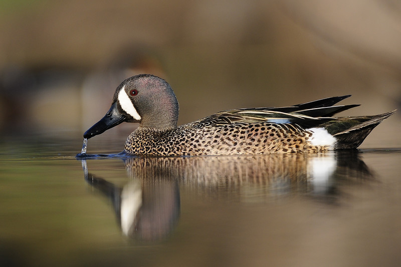 A blue-winged teal on a backwater pond of the Mississippi River, Iowa.