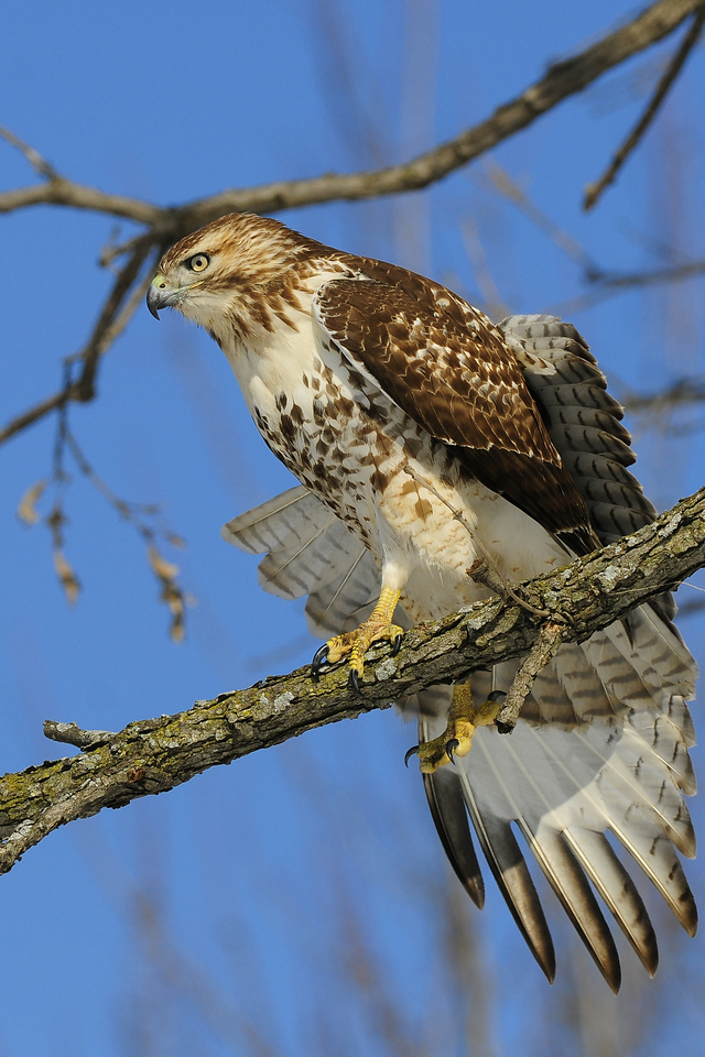 A red-tailed hawk in Eastern Iowa.