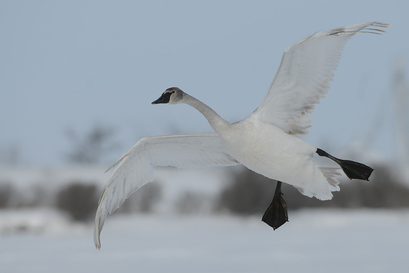 A trumpeter swan in flight over a fozen pond in Northern Iowa.