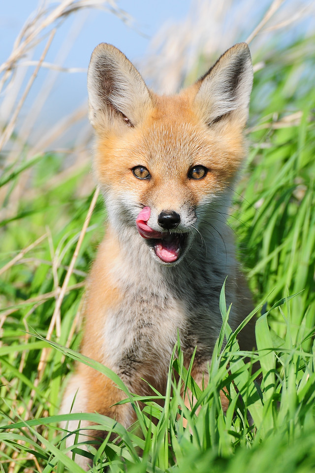 A young red fox kit outside the den, Iowa.