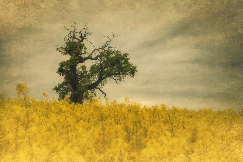 Witch's Tree in the Rape Field