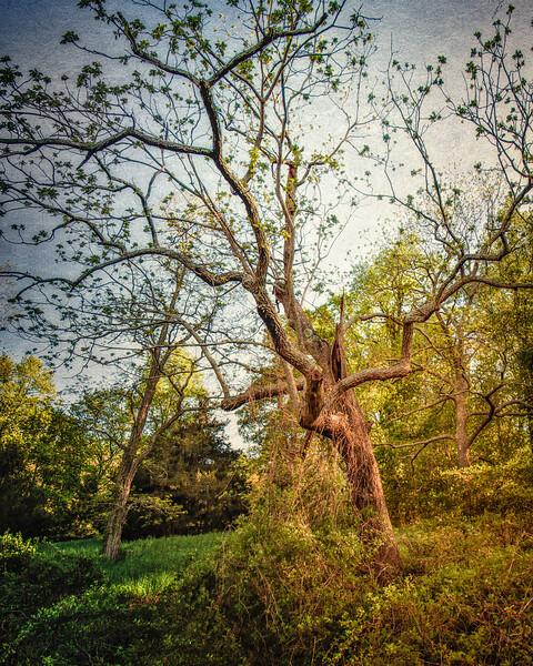 Mary's Hanging Tree, Head of the Harbor, Suffolk County, Long Island, New York