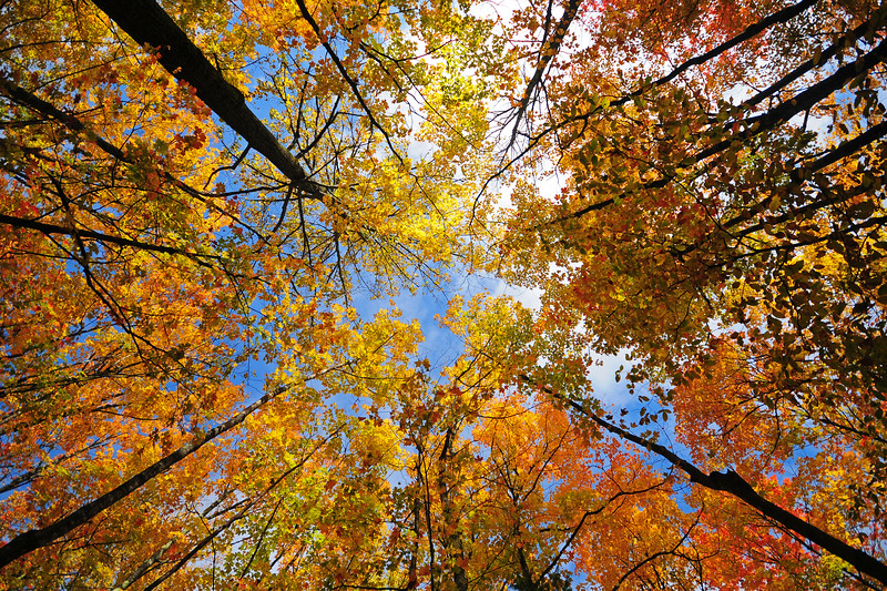 An aspen stand in fall colors, Michigan.