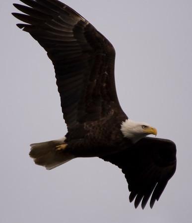 MD, Conowingo Dam Eagles