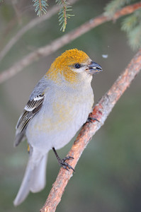 A pine grosbeak  in the forests of Sax-Zim Bog, Minnesota.