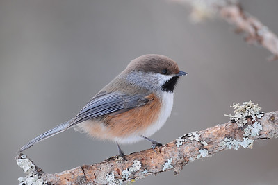 A boreal chickadee in the forests of Sax-Zim Bog, Minnesota.