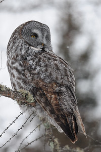 A great gray owl on the edge of a clear cut, Minnesota.