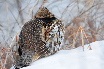 A ruffed grouse resting during a cold day in February, Minnesota.