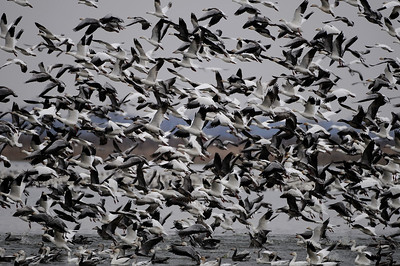 A gaggle of lesser snow and Ross's geese lifting off of the water of Squaw Creek National Wildlife Refuge, Missouri.