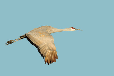 Sandhill crane in flight over a pond of the Bosque del Apache NWR, New Mexico.