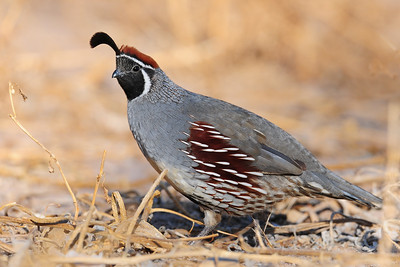 A male Gambel's quail, Bosque del Apache NWR, New Mexico.