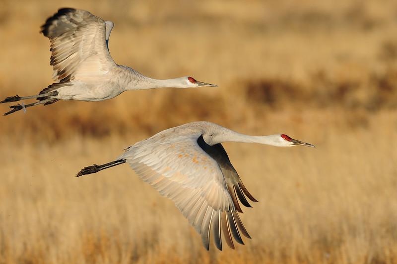 Sandhill cranes in flight over a pond of the Bosque del Apache NWR, New Mexico.