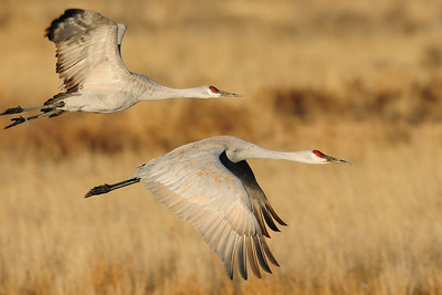 Sandhill cranes in flight over a pond of the Bosque del Apache NWR, New Mexico.