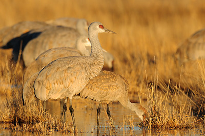Lesser sandhill cranes on a pond of the Bosque del Apache NWR, New Mexico.