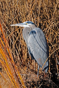 A great blue heron along a canal, New Mexico.