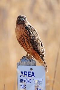 A red-tailed hawk perched on a wildlife refuge sign in the Bosque del Apache NWR, New Mexico.