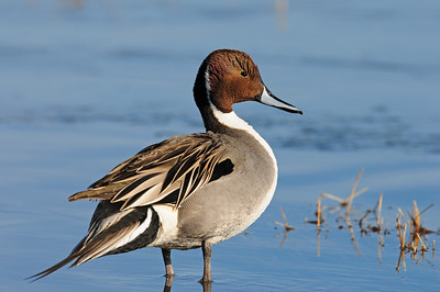 A drake northern pintail standing on the ice, New Mexico.