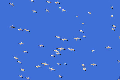 A flock of snow and Ross's geese in flght, New Mexico.