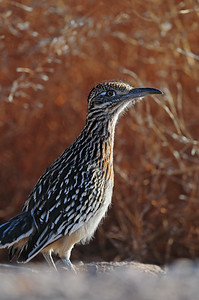 A greater roadrunner in Bosque del Apache NWR, New Mexico.