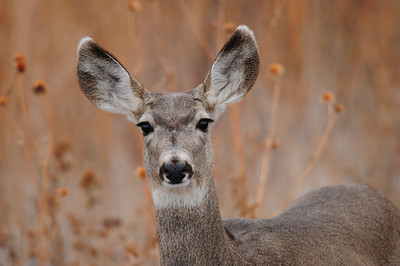 A doe mule deer in the Bosque del Apache NWR, New Mexico.