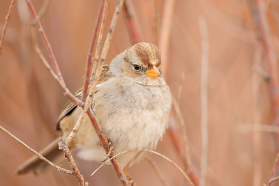 A juvenile white-crowned sparrow along a marsh, New Mexico.