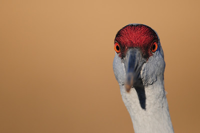 A greater sandhill crane in a farm field near Albuquerque, New Mexico.