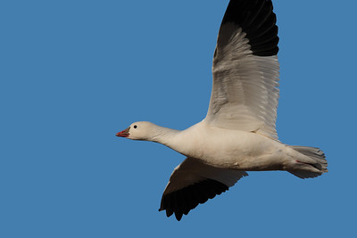 A Ross's goose in flight over the Bosque del Apache NWR, New Mexico.