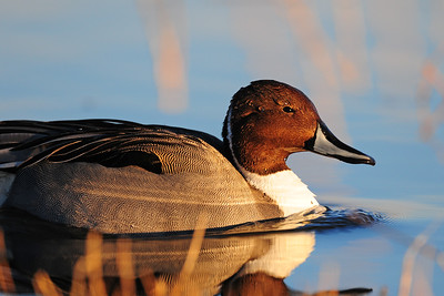 A drake northern pintail on a pond of the Bosque del Apache NWR, New Mexico.