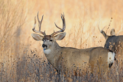 A big New Mexico mule deer buck near the Bosque del Apache NWR.