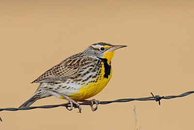 A western meadowlark on a barbwire fence near the Bosque del Apache NWR, New Mexico.