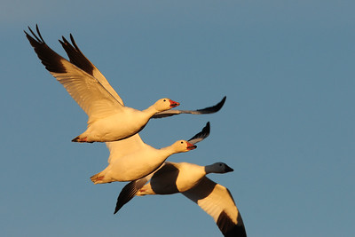A small group of snow geese in flight, New Mexico.