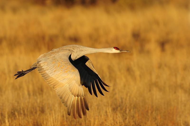 Sandhill crane in flight over a pond of the Bosque del Apache NWR, New Mexico.