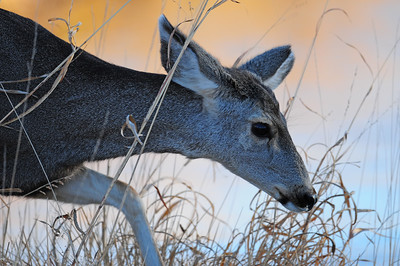 A doe mule deer stepping through the tall grass in the evening light in the Bosque del Apache, New Mexico.