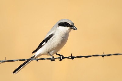 A loggerhead shrike perched on barbwire, New Mexico.