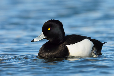 A drake tufted duck, St. John's, Newfoundland.