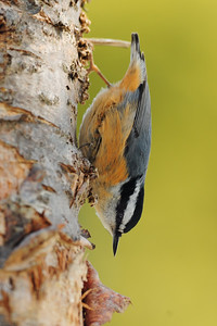 A red-breasted nuthatch on a snag, St. John's, Newfoundland.