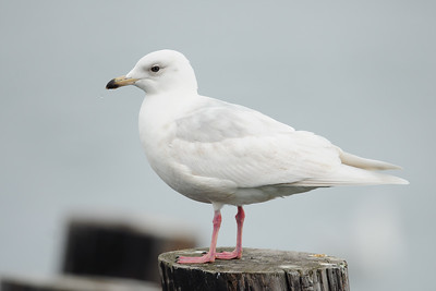 A young Iceland gull along the port in St. John's, Newfoundland.