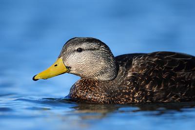 A drake black duck, St. John's, Newfoundland.