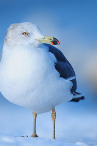 A vagrant black-tailed gull in St. John's, Newfoundland.