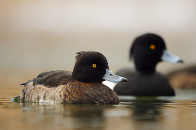 A pair of tufted ducks, St. John's, Newfoundland.
