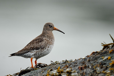 A purple sandpiper on the rocks of Cape Spear. Newfoundland.