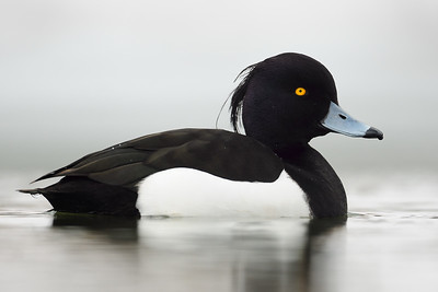 Tufted duck on a pond in St. John's, Newfoundland.