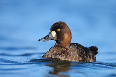 A female greater scaup on a lake in St. John's, Newfoundland.